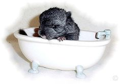 How to take care of your baby chinchilla URL: http://chinchilla.co/  Fb Fan Page: https://www.facebook.com/chinchilla.co