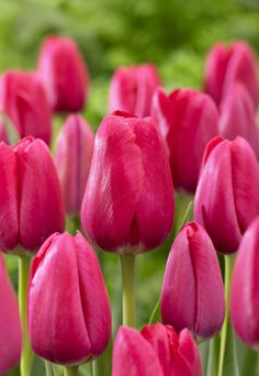 Tulip Tulipa Triumph The Cure from Netherland Bulb
