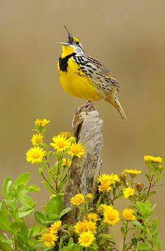 love this little birds song. Remember these pretty birds when I was a kid playing in the meadow. Beautiful Creatures, Animals Beautiful, Cute Animals, Most Beautiful Birds, Majestic Animals, Wild Animals, Simply Beautiful, Baby Animals, Funny Animals