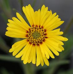 Specializing in rare and unusual annual and perennial plants, including cottage garden heirlooms and hard to find California native wildflowers. Yellow Flowers, Wild Flowers, Moonflower Vine, Deer Resistant Flowers, Short Plants, Homestead Gardens, Balcony Plants, Lower Lights, Garden Landscaping