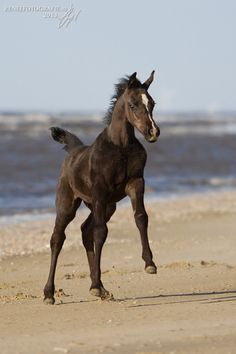 Egyptian Colt....the video of this little foal frolicking on the beach with his dam is so beautiful