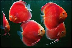 Photo gallery of Discus fish - Live Tropical Fish - Live Tropical Fish Beautiful Tropical Fish, Beautiful Fish, Animals Beautiful, Discus Aquarium, Discus Fish, Tropical Freshwater Fish, Freshwater Aquarium, Oscar Fish, Fish Gallery