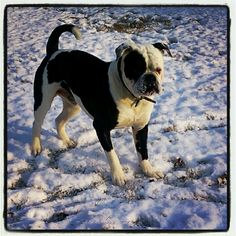 My 1 year old baby Cooper (Johnson American Bulldog) i love this breed and this pup has stolen my heart <3