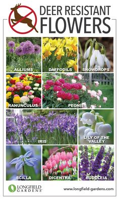 Deer Resistant Bulbs And Perennials Garden Flowers