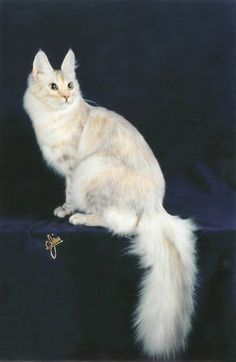 Calico Turkish Angora Cat About Our Turkish Angoras Turkish Van Cats, Turkish Angora Cat, Angora Cats, Pretty Cats, Beautiful Cats, Beautiful Things, Warrior Cat Oc, Purebred Cats, Exotic Cats