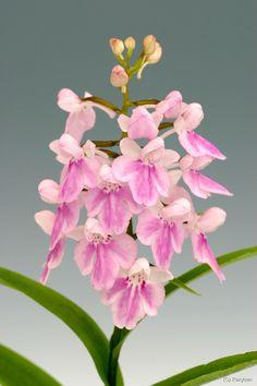 Awachidori (Ponerorchis suzukiana) violet-pink-type