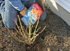 Applying slow-release fertilizer on roses helps produce superior plant growth.