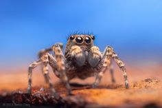 Adult Male Jumping Spider Sitticus pubescens