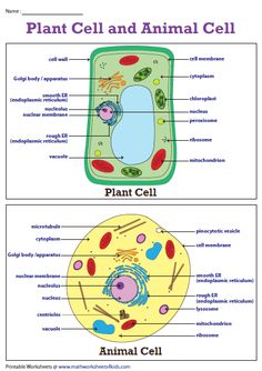 line drawing of plant and animal cells  labeled | Plantanimal cells | Plant, animal cells