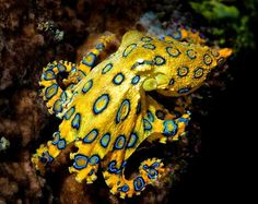 All octopuses are venomous, but only this one--the small blue-ringed octopus--is capable of killing a human. -- 22 Octopus Facts That Are Definitely Worth Ogling Deadly Creatures, Sea Creatures, Kraken, Octopus Facts, Octopus Octopus, Octopus Species, Coconut Octopus, Poisonous Animals, Cat Diary