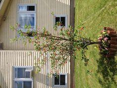 Cherry Tree in loving memory of my Mom , 2013