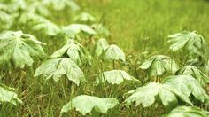 in the wild, plant populations are often layered, such as these mayapples growing through and above the grasslike Pennsylvania sedge. It's a habit gardeners might be wise to consider, write the authors of the new book PLANTING IN A POST-WILD WORLD.