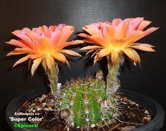 Echinopsis hybrid 'Super Color' buy it @ Epicacti.com