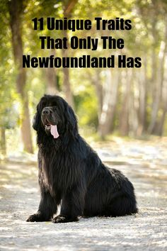 The Newfoundland dog is special breed that has unique traits that most other breeds do not. 11 Unique Traits That Only The Newfoundland Has - My Brown Newfies #newfoundlanddog #newfies #bigdogs #purebreddogs Newfoundland Breed, Water Rescue, Life Before You, Killed In Action, Hurt Feelings, Big Dogs, I Love Dogs, Rescue Dogs