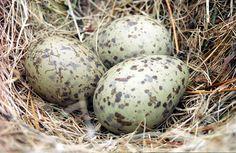 Speckled Eggs (gull)