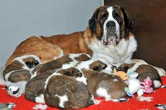 - St. Bernard Puppies at Fondation Barry, Martigny -  The latest members of the family, seven males and five females, were born on March 7, 2014. They might not be aware of their fortune, but these pups were actually born into the oldest breeding station of its kind in the world. Ever since the 17th century, dogs have been bred in this verymountain hospiceon the Great Saint-Bernard pass !