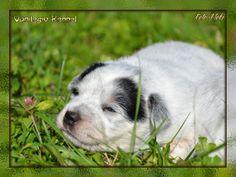 Australian Cattle Dog (ACD) / Vanilegio Blue Moon / Allevamento Australian Cattle Dog Vanilegio www.vanilegio.it