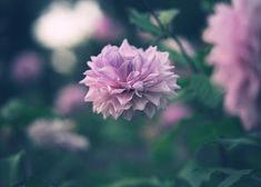 Chrysanthemums - Bokeh Photography, Out Of Focus, Chrysanthemums, Flowers, Plants, Chrysanthemum, Plant, Royal Icing Flowers, Flower