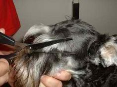 Schnauzer Grooming, this shows you everything you will need and do the groom your Mini schnauzer, very helpful ❤️ Schnauzer, Pup, Schnauzers, Puppys, Puppies, Mini Schnauzer