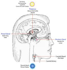 God Center of the Brain | Figure 1: The Gland-Chakra-Related Centres in the Neck and Brain.