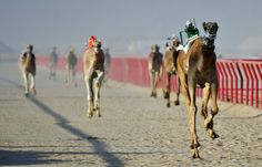 Camel race in Kuwait February 2012. Camels are now ridden by robots. The robot jockeys are remote-controled by the camel owners who drive beside with their jeeps.