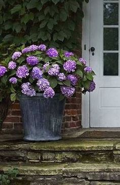 I am going to do this for sure this year and then can bring inside over winter!! Hydrangeas Potted