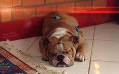 British Bulldog, English Bulldogs, Bullies, Dreams, Animals, Animales, Animaux, Bullying, Animais