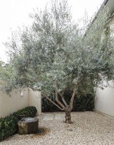 Olive Tree by Matthew Williams | Remodelista