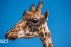 Portrait of a Giraffe #2 by Gilles Royer on 500px