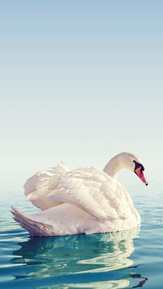 Beautiful swan wallpaper for your iPhone XS from Everpix Swan Wallpaper, More Wallpaper, Animal Wallpaper, Wallpaper Backgrounds, Bird Painting Acrylic, Swan Pictures, Whatsapp Background, Salvador Dali Art, Iphone Wallpaper Tumblr Aesthetic