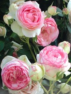 Eden Rose for garden...did you know roses and garlic grow nicely together? The garlic keeps aphids away...