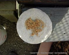 How to save tomato seeds using the fermentation method.