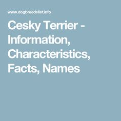 Cesky Terrier - Information, Characteristics, Facts, Names