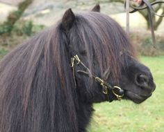 Shetland Pony Stallions at Collytown Shetland Pony Stud, UK breeders of quality ponies. Mini Horses, Gypsy Horse, Ponies, Animals And Pets, English, Memories, Sweet, Pets, Memoirs