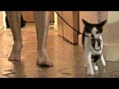 How To Walk Your Human By Kodi The Kitten. This. Is. Adorable.