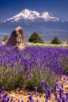 Mt Shasta Lavender Farm by brad iscoo ~ California**