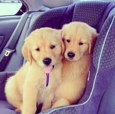 Please tell me we aren't going to the vet.   61 Times Golden Retrievers Were So Adorable You Wanted To Cry