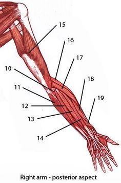 Free anatomy quiz, upper limb (arm) muscles from the back. Arm Anatomy, Body Anatomy, Anatomy Study, Anatomy Reference, Pose Reference, Forearm Muscle Anatomy, Human Skeleton Anatomy, Muscular System, Human Anatomy And Physiology