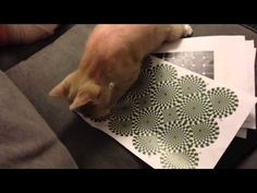 ilusion optica en gatos