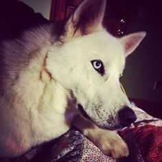#LOSTDOG  #KINGSPORT #TN #SIBERIANHUSKY MALE BLUE EYES WHITE 1 YEAR OLD BLOOMINGDALES AREA  http://tricities.craigslist.org/pet/4194375099.html