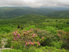 Rhododendrons as seen From an Ascent on Mount Rogers; the Highest Peak in Virginia.