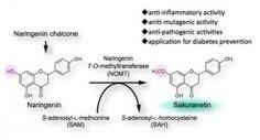 The final step of biosynthetic pathway for sakuranetin, a flavonoid phytoalexin in rice, catalyzed by OsNOMT. ©Kazunori Okada. #UTokyoResearch