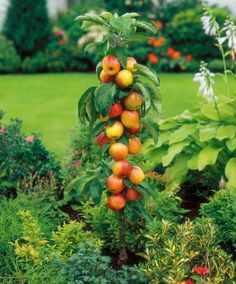 Columnar Apple Tree The special feature of this tree (Malus Domestica 'Flamingo') is that it does not develop side branches and stays compact, making it ideal for small gardens and for pots and planters. Height of stem approximately 60 cm.