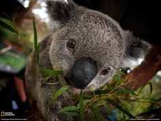 Bild från http://speakupforthevoiceless.files.wordpress.com/2013/12/koala.jpg.