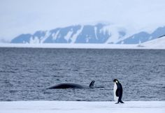 Penguin & Whale in Antarctica. For more, visit GreenGlobalTravel.com!
