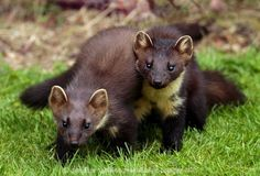 European Pine Marten - The European Pine Marten, known most commonly as the pine marten in Anglophone Europe, and less commonly also known as pineten, baum marten, or sweet marten, is an animal native to Northern Europe belonging to the mustelid family, which also includes mink, otter, badger, wolverine and weasel. It is about the size of a domestic cat.   ...........click here to find out more     http://googydog.com