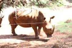 Kenyan wildlife: hippo