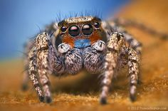 Macro Photos Of Cute And Cuddly Jumping Spiders by Thomas Shahan Fotografia Macro, Mystical World, Itsy Bitsy Spider, Jumping Spider, Extreme Close Up, Bugs And Insects, Mundo Animal, Weird Creatures, Portraits