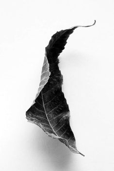 Dried Fallen Leaf from a Black Walnut Tree No. 1 Dried Fallen Leaf from a Black Walnut Tree No. Black Walnut Tree, Black And White Tree, Black And White Prints, White Leaf, Leaf Photography, Object Photography, Still Life Photography, Leaf Drawing, Nature Drawing