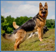 Cool Pictures Of German Shepherd Dogs More Design http://joesquest.com/dog-breeds/pictures-of-german-shepherd-dogs/